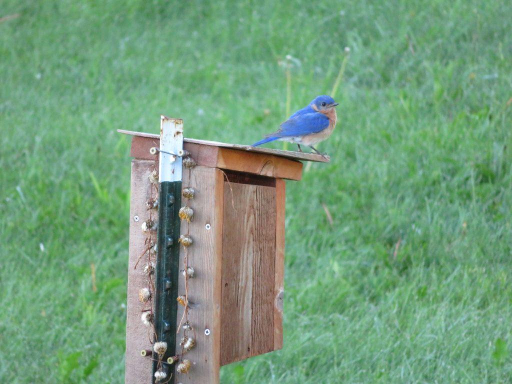 Bluebird on Peacham Nesting Box